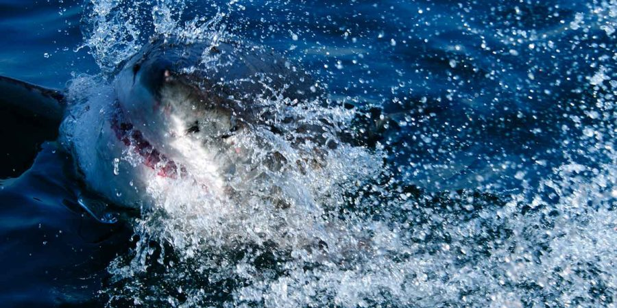 Nazan Shark tiburones en Sudáfrica