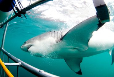 Nazan Shark radio de interacción del gran tiburón blanco